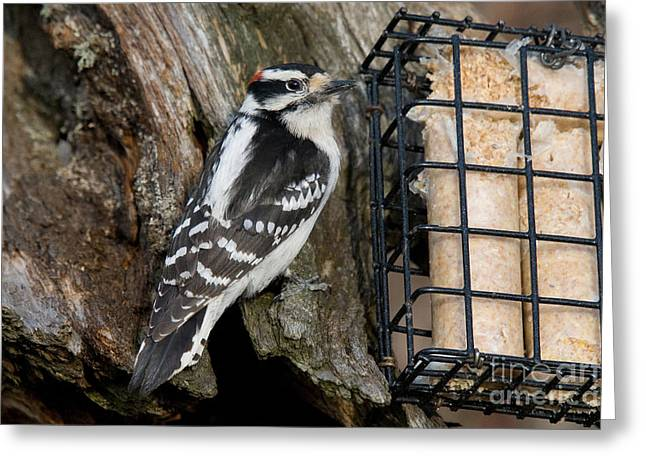Male Hairy Woodpecker Greeting Card by Linda Freshwaters Arndt
