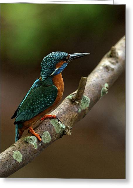 Scoullar Greeting Cards - Male Kingfisher Greeting Card by Paul Scoullar