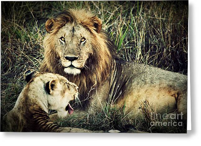 Lioness Greeting Cards - Male lion and female lion. Safari in Serengeti. Tanzania. Africa Greeting Card by Michal Bednarek