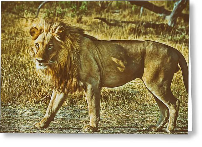 Large Cats Greeting Cards - Male Lion  Greeting Card by Pixabay