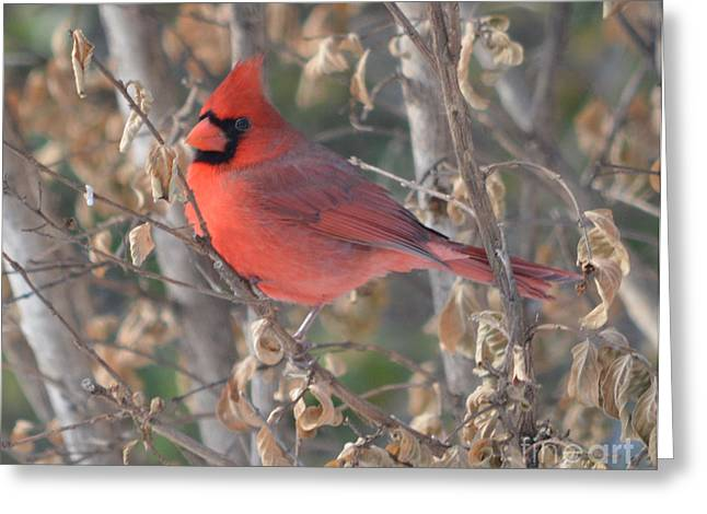 Northern Cardinal Photo Greeting Cards - Male Northern Cardinal  Greeting Card by Ruth  Housley