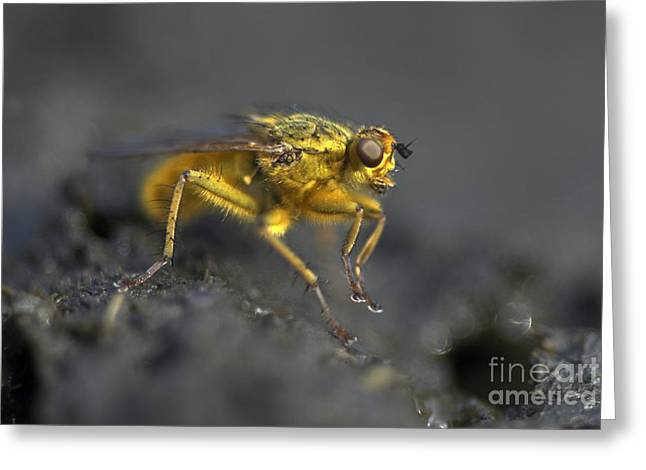 Dung Greeting Cards - Male Yellow Dung Fly Greeting Card by Colin Varndell