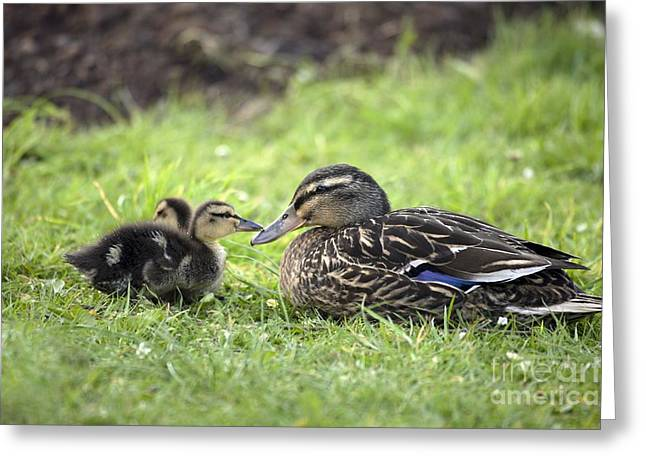Ducklings Greeting Cards - Mallard And Ducklings Greeting Card by Simon Booth