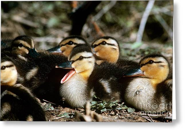 Ducklings Greeting Cards - Mallard Ducklings Greeting Card by William H. Mullins