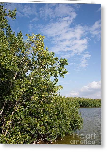 Mangrove Forest Greeting Cards - Mangrove Forest Greeting Card by Carol Ailles