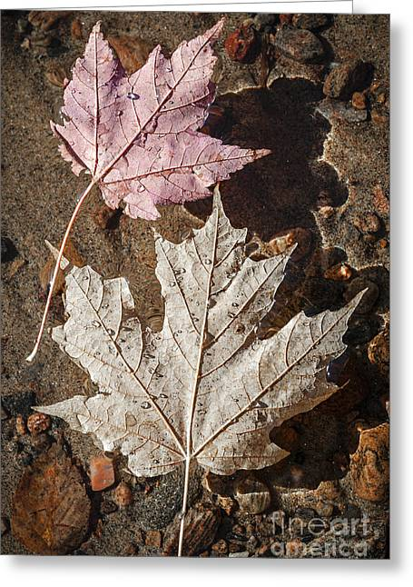 Pebbles Greeting Cards - Maple leaves in water Greeting Card by Elena Elisseeva
