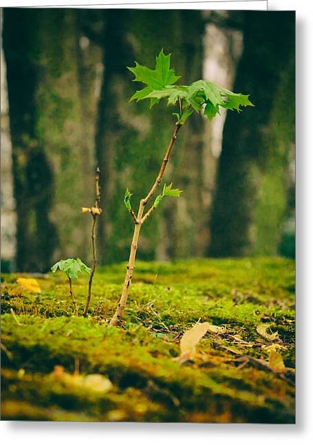Ground Level Greeting Cards - Maple Seedling Greeting Card by Mountain Dreams
