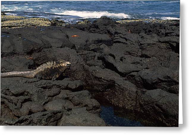 Marine Photography Greeting Cards - Marine Iguana Amblyrhynchus Cristatus Greeting Card by Panoramic Images