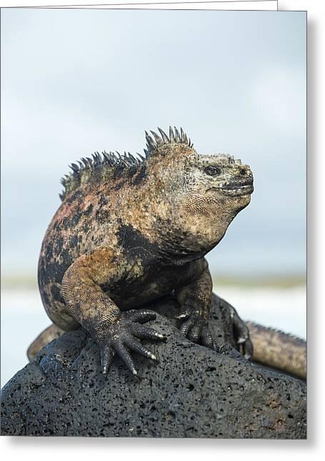Marine Iguana Male Turtle Bay Santa Greeting Card by Tui De Roy