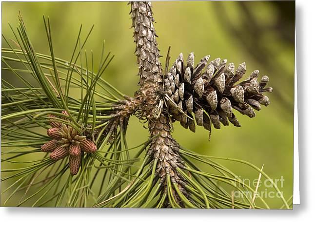 Pine Cones Greeting Cards - Maritime Pine Pinus Pinaster Greeting Card by Bob Gibbons