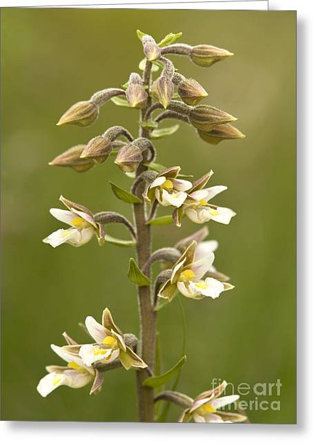 Marsh Helleborine Epipactis Palustris Greeting Card by Bob Gibbons