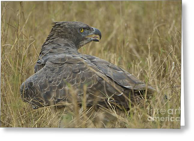 Martial Eagle Greeting Cards - Martial Eagle Mantling Prey Greeting Card by John Shaw