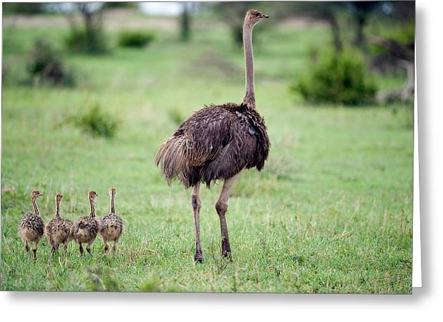 Medium Group Of Animals Greeting Cards - Masai Ostrich Struthio Camelus Greeting Card by Panoramic Images