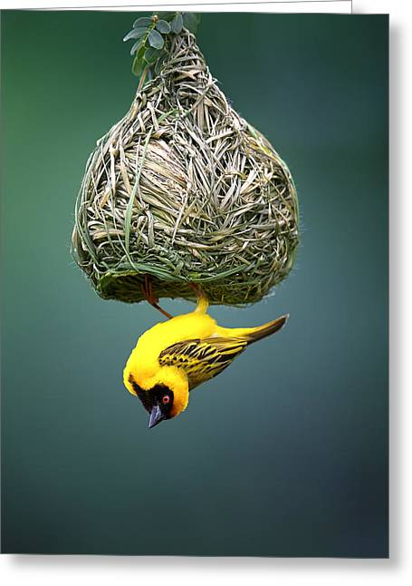 Shining Down Greeting Cards - Masked weaver at nest Greeting Card by Johan Swanepoel