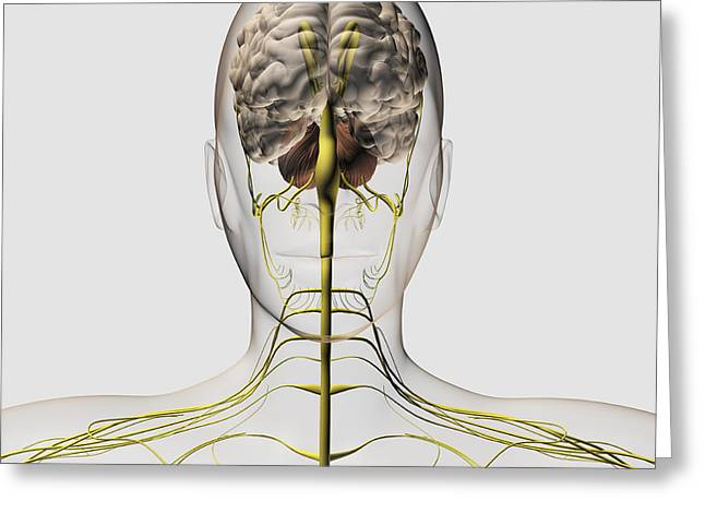 Musculocutaneous Nerves Greeting Cards - Medical Illustration Of The Human Greeting Card by Stocktrek Images