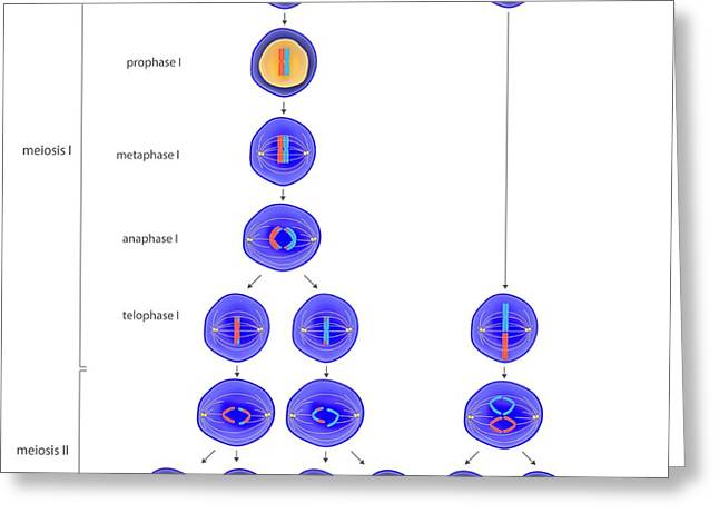 Meiosis And Mitosis Greeting Card by Science Photo Library
