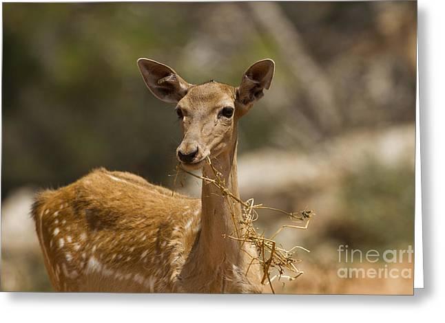Dama Greeting Cards - Mesopotamian Fallow deer 3 Greeting Card by Eyal Bartov