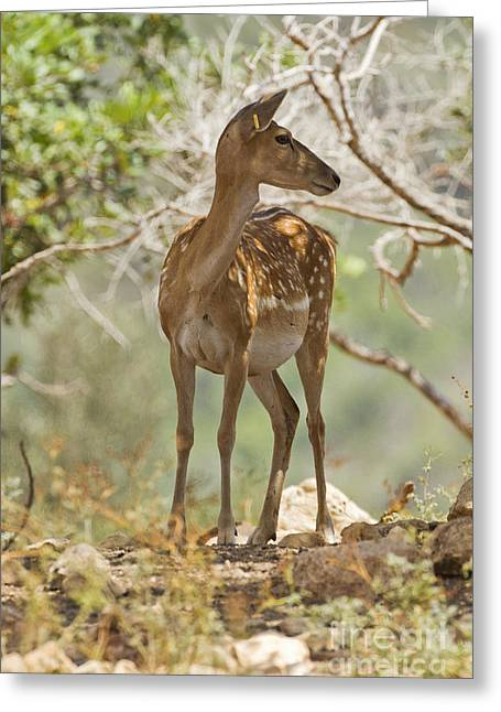 Dama Greeting Cards - Mesopotamian Fallow deer 5 Greeting Card by Eyal Bartov