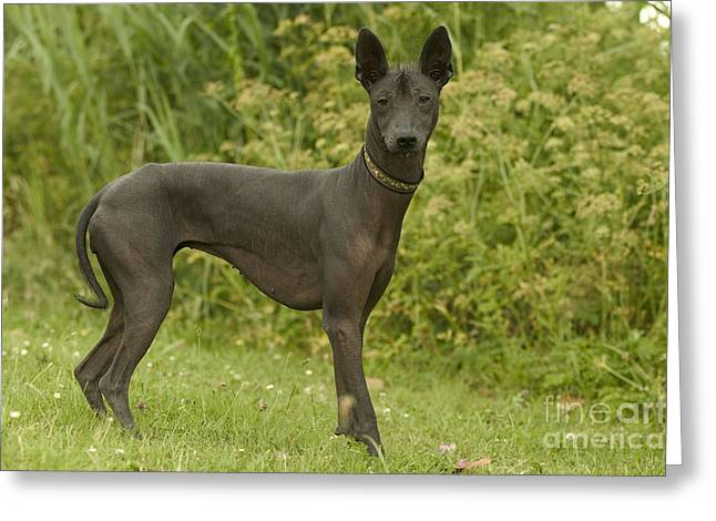 Breeds Greeting Cards - Mexican Hairless Dog Greeting Card by Jean-Michel Labat