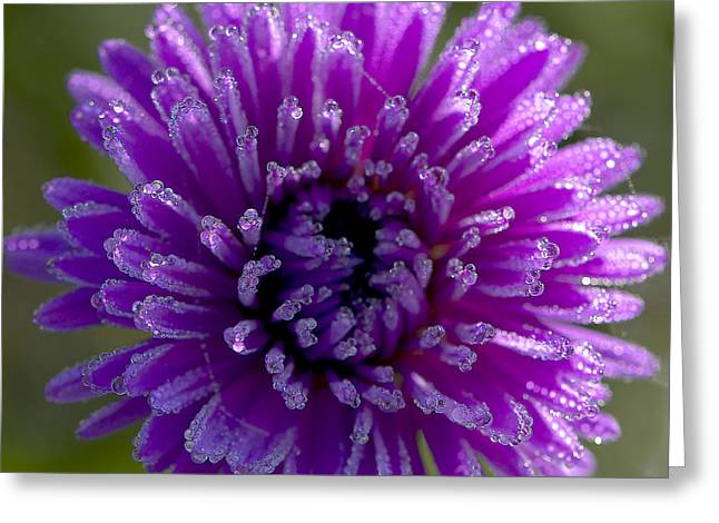 Raindrops On Flowers Greeting Cards - Michaelmas Daisy Drops Greeting Card by Sharon  Talson