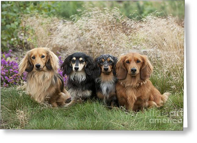 Breeds Greeting Cards - Miniature Long-haired Dachshunds Greeting Card by John Daniels