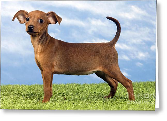 Toy Dog Greeting Cards - Miniature Pinscher Puppy Greeting Card by Jean-Michel Labat