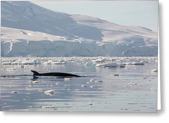 Minke Whales Greeting Card by Ashley Cooper