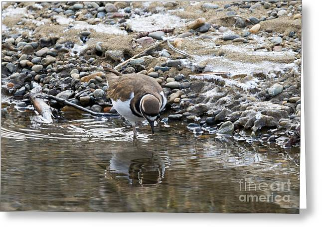 Killdeer Greeting Cards - Mirror Mirror Greeting Card by Mike Dawson