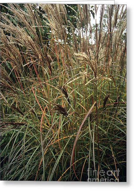 Osten Greeting Cards - Miscanthus Ferner Osten Greeting Card by Adrian Thomas