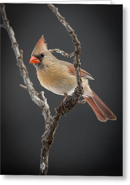 Female Northern Cardinal Greeting Cards - Miss Cardinal Greeting Card by Larry Pacey