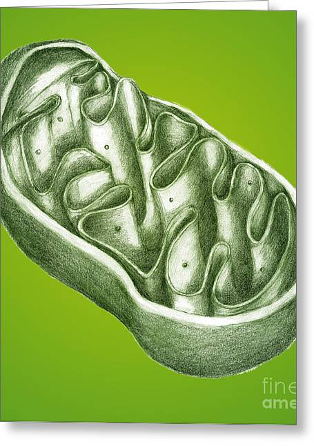 Atp Photographs Greeting Cards - Mitochondria Greeting Card by Spencer Sutton