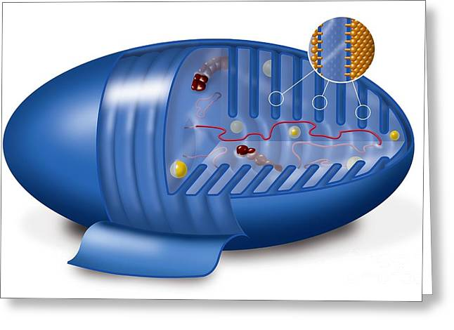 Cristae Greeting Cards - Mitochondrion, Artwork Greeting Card by Art for Science