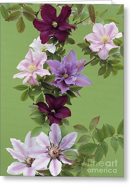 Nike Photographs Greeting Cards - Mixed Clematis Flowers Greeting Card by Archie Young