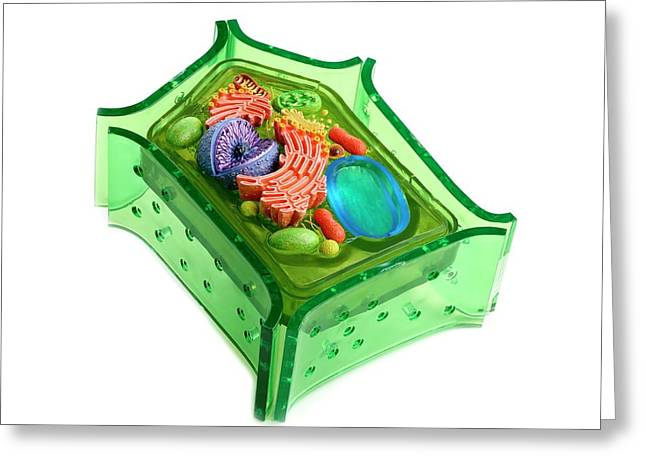 Model Of A Plant Cell Greeting Card by Science Photo Library
