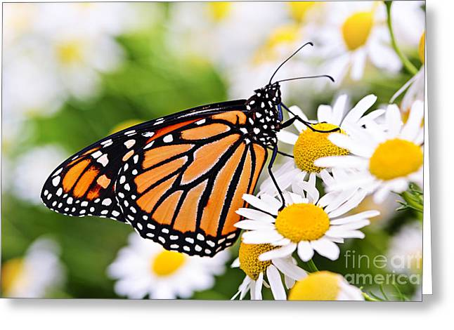Sat Photographs Greeting Cards - Monarch butterfly Greeting Card by Elena Elisseeva