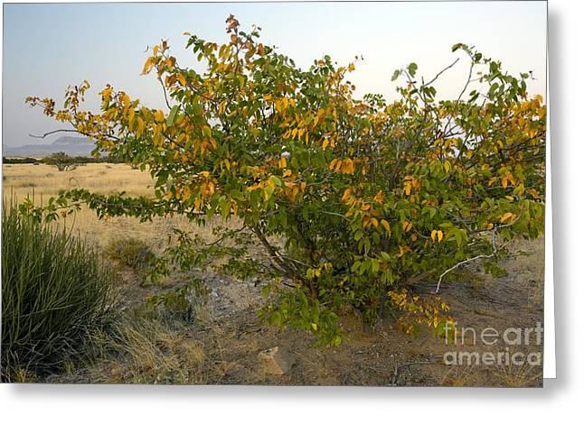 Biology Greeting Cards - Mopane Colophospermum Mopane Greeting Card by Bob Gibbons