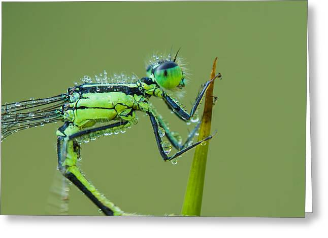 Dewdrops Greeting Cards - Morning Damselfly Greeting Card by Mircea Costina Photography