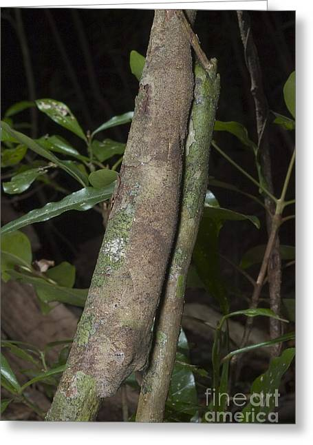 Toe Pad Greeting Cards - Mossy Leaftailed Gecko Greeting Card by Greg Dimijian