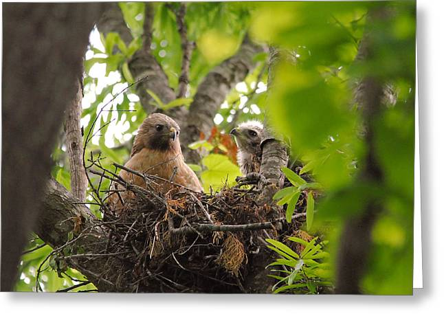 Red Shouldered Greeting Cards - Mother and Baby Red Shouldered Hawk Greeting Card by Jai Johnson
