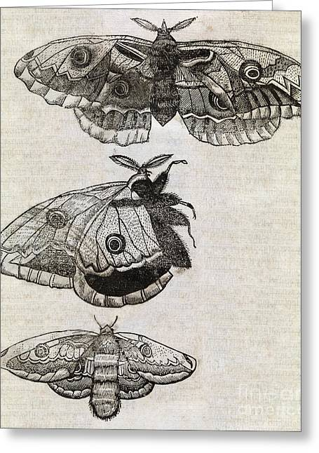 Muffet Greeting Cards - Moths, 17th Century Artwork Greeting Card by Middle Temple Library