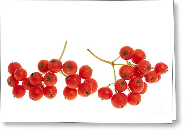 Ashes Greeting Cards - Mountain ash berries Greeting Card by Elena Elisseeva