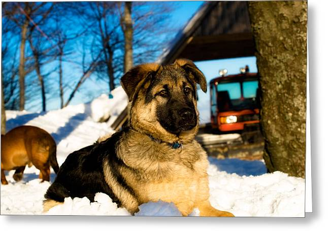 Watchdog Greeting Cards - Mountain dog Greeting Card by Sinisa Botas