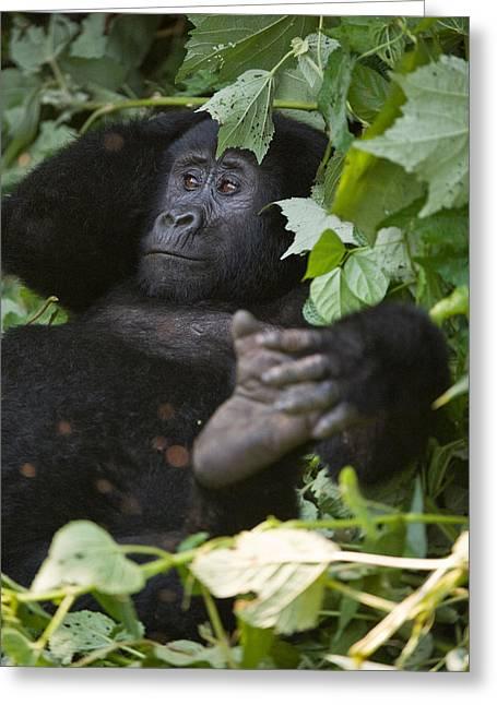 Uganda Greeting Cards - Mountain Gorilla Gorilla Beringei Greeting Card by Panoramic Images