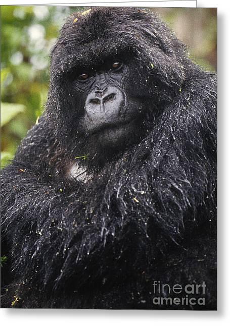 Gorilla Photographs Greeting Cards - Mountain Gorilla, Rwanda Greeting Card by Art Wolfe