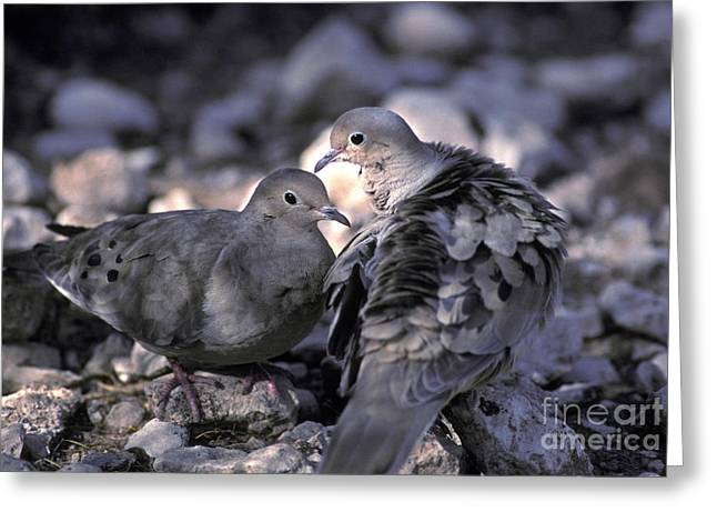 Arizona Wildlife Greeting Cards - Mourning Dove Greeting Card by Ron Sanford