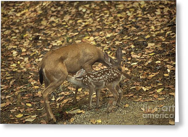 Mule Deer Doe And Fawn Greeting Card by Ron Sanford