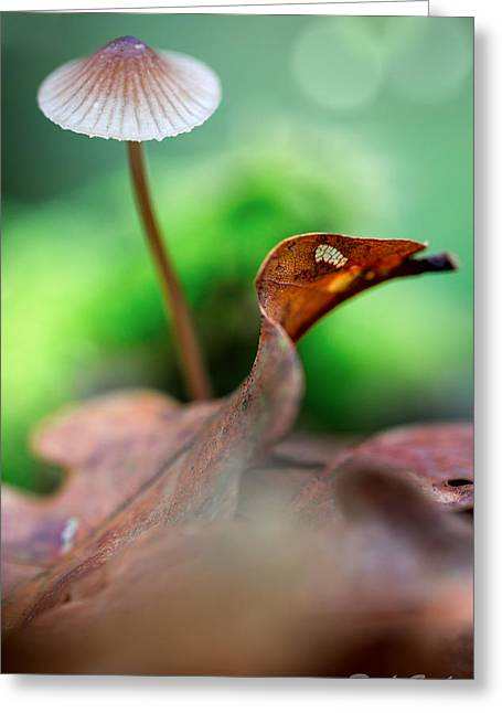 Toadstools Greeting Cards - Mushroom Mycena sp. Greeting Card by Dirk Ercken