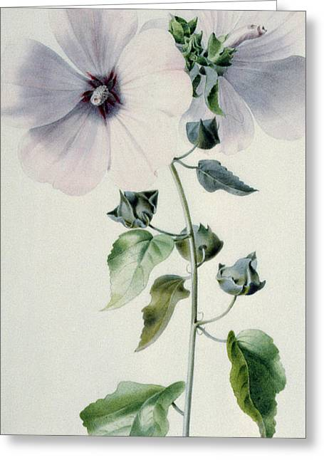 Mallow Greeting Cards - Musk Mallow Greeting Card by Marie-Anne