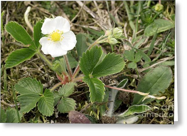 Musk Greeting Cards - Musk Strawberry Fragaria Moschata Greeting Card by Bob Gibbons