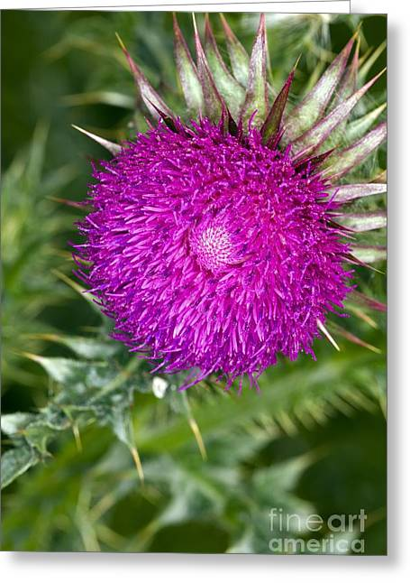 Musk Greeting Cards - Musk Thistle Flower Head Greeting Card by Dr Keith Wheeler